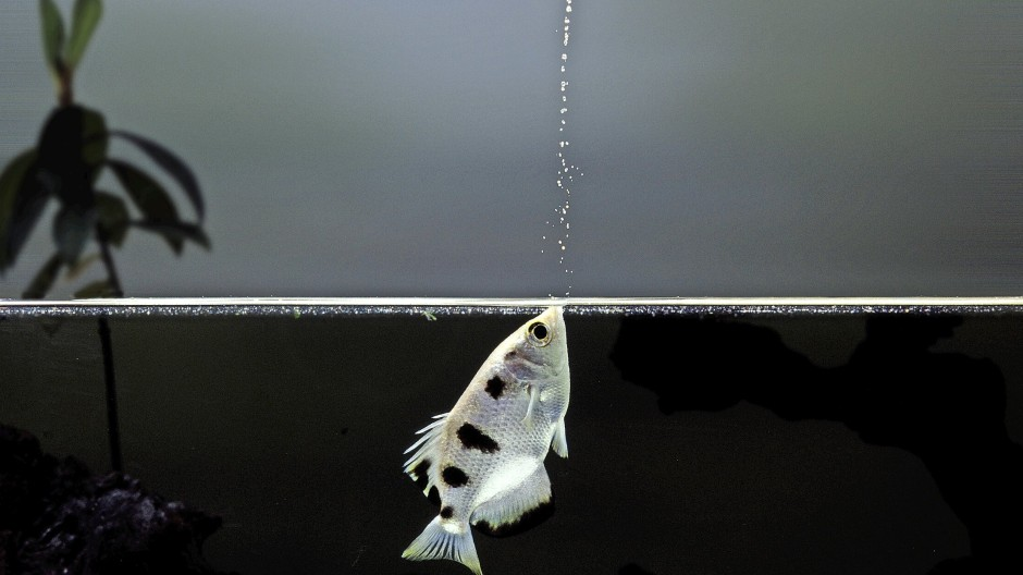Schützenfisch auf der Jagd