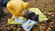 Proben für den Ernstfall: Polnische Veterinärbehörden trainieren bei einer Notfallübung für das Auftreten der Afrikanischen Schweinepest.