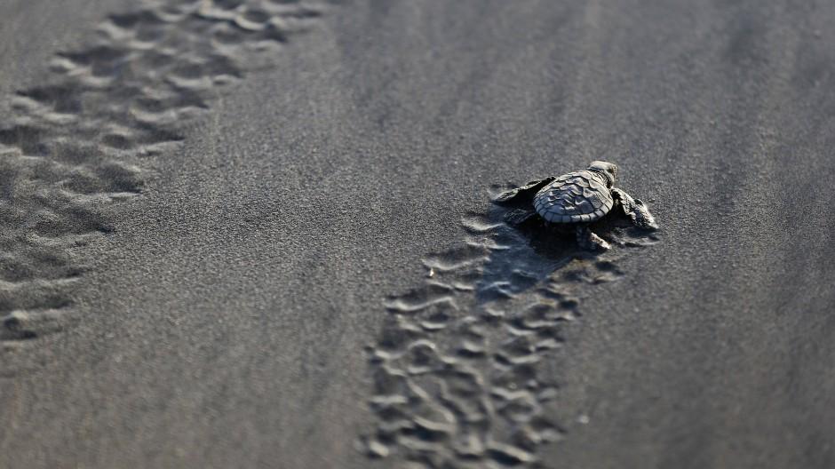 Brut von zehntausenden Meeresschildkröten
