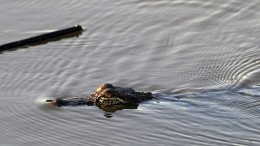 Behörden  in Houston warnen vor Alligatoren