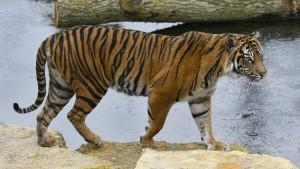 Tigerweibchen bei Paarungsversuch getötet