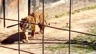 Frau klettert über Zaun des Tigergeheges im Zoo von Toronto
