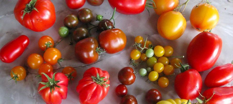 Untreue tomate