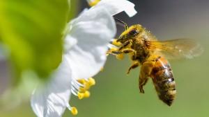 Wie Porsche und Lidl die Bienen retten wollen