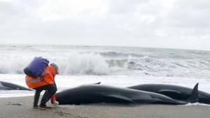 Mehr als drei Dutzend Wale in Neuseeland gestrandet