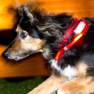 Mit klarem Blick stürmt Trixi voran. Was immer sie auch bewegt: Am Hals blinkt ihr rotes LED-Band und lässt sie damit weithin sichtbar erscheinen.