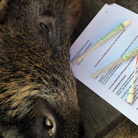 Wegen Schweinepest Danemark Baut Einen Zaun Aus Angst