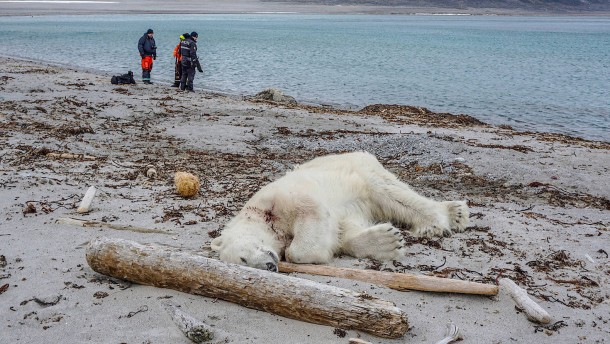 Deutscher darf Klinik nach Eisbären-Angriff verlassen