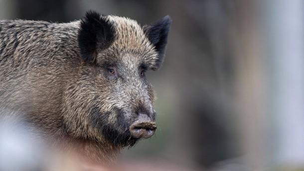 Polizei verhilft Wildschwein zur Flucht