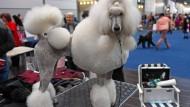 """Schau mir in die Augen, Baby: Ein frisierter Pudel auf der """"World Dog Show"""" in Leipzig"""