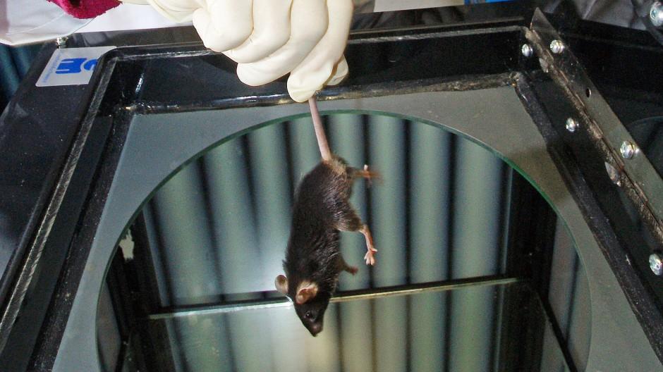 In einem Universitätslabor wird eine Maus für einen Versuch vorbereitet
