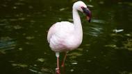 Stallpflicht aufgehoben: Flamingo im Opel-Zoo