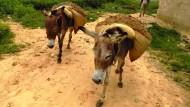 Esel werden allmählich ein selten Anblick in Afrika – ihr Verkauf bringt den Afrikanern viel Geld.