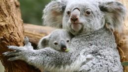 Forscher entschlüsseln Erbgut der Koalas