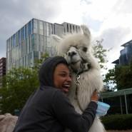 Macht einer Demonstrantin eine Freude: Therapie-Lama Caesar McCool am Donnerstag in Portland.