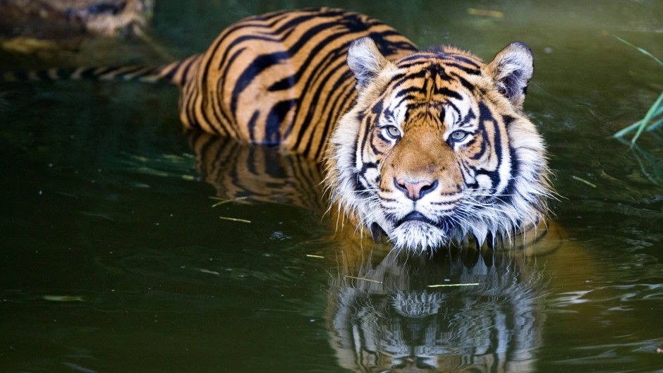 De Tiger