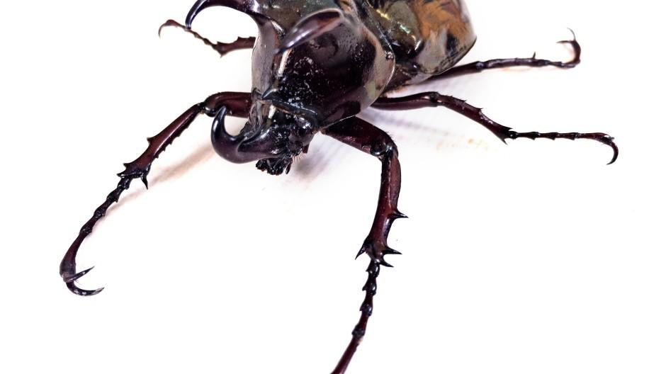 Schwergewicht ohne Gelenkprobleme: Der in den Tropen lebende Riesenkäfer (Dynastinae) zählt zu den größten Insekten der Welt.