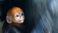 Seltener und zuckersüßer Affennachwuchs in Australien