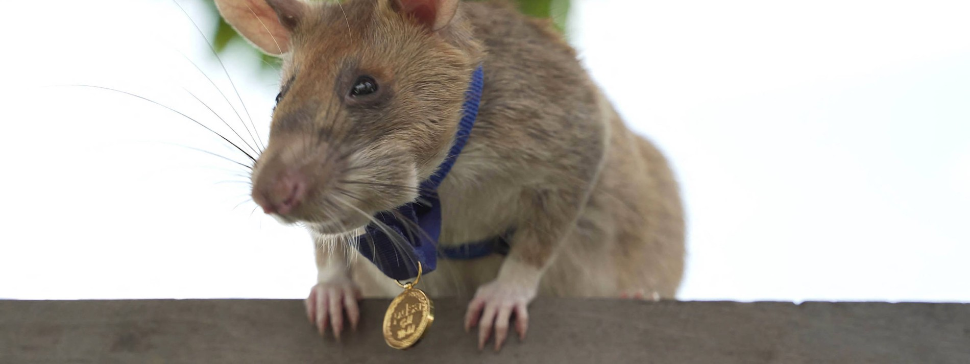 Minensuch-Ratte Magawa geht in Kambodscha in Rente
