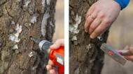 Für den Hobbybastler ein Kinderspiel. Für den Forstbotaniker böser Baumfrevel