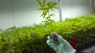 Israel lockt Investoren mit Cannabis-Knowhow