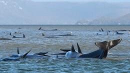 350 Wale konnten nicht mehr gerettet werden