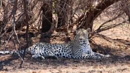 Leopard tötet Zweijährigen in beliebtem Nationalpark