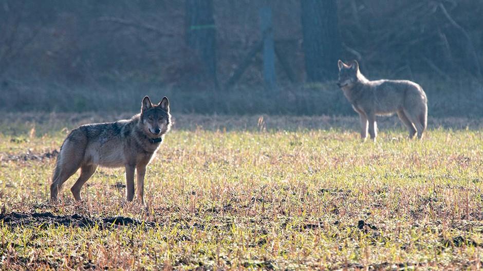 Ein verhaltensauffälliger Wolf steht am 07.03.2016 auf einem Feld in Niedersachsen.