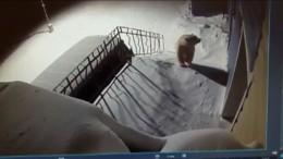 """""""Eisbären-Invasion"""" ängstigt Bewohner am Polarkreis"""
