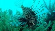 Die Jagd nach dem giftigen Rotfeuerfisch