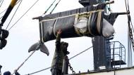 """Anfang November wurden die letzten Belugas aus dem """"Walgefängnis"""" an der russischen Ostküste befreit."""