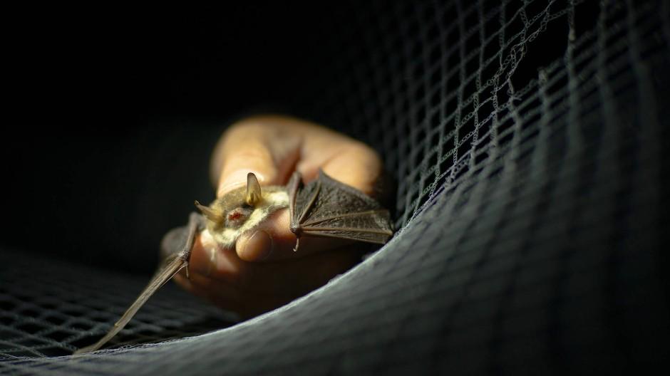 In der Falle: Biologen befreien die Fledermaus sofort wieder aus dem Netz.