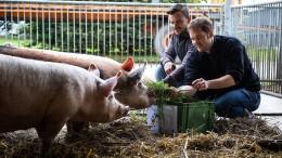 Sieben Kräuter für das Schwein