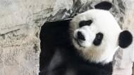 Panda-Dame Meng Meng erkundet ihr Gehege im Berliner Zoo.