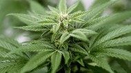 Die Cannabis-Schlamperei