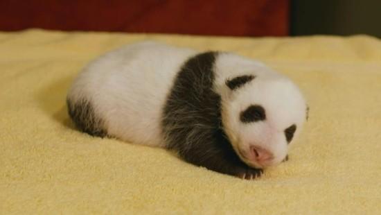 Panda-Baby in Washington gedeiht prächtig