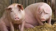 Afrikanischen Warzenschweinen schadet das Virus nicht, Europas Wild- und Hausschweine hingegen erliegen der Infektion.