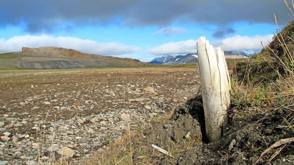Mammut-Stoßzahn auf der Warngel-Insel, Sibirien