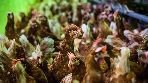 Zu viele Antibiotika in deutschen Hühnerställen