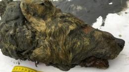 Eiszeit-Wolfskopf begeistert Fachwelt