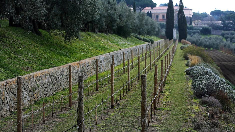 Einige Reben im Garten der Papstresidenz Castel Gandolfo 2013