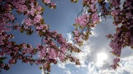 Vorwurf der Kirschblütenkorruption