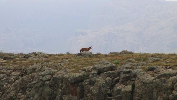 Die letzten Wölfe im Bale-Nationalpark Äthiopiens