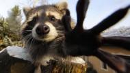 Jäger wollen mehr Waschbären schießen