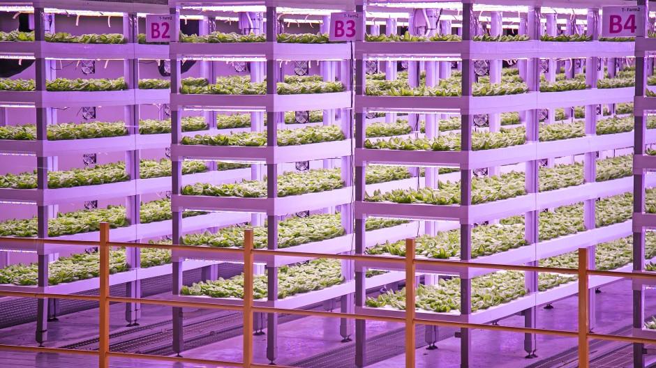 Rotlicht und Blaulicht regen das Wachstum an: Eine vertikale Indoor-Farm in Pyeongtaek, Südkorea