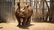 Ein schwarzes Rhinozeros, dessen Art unmittelbar vom Aussterben bedroht ist.