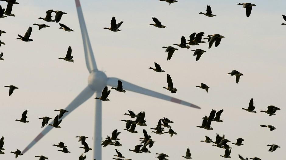 Gefährliche Nähe: Auch für Zugvögel können Windräder tödlich sein.