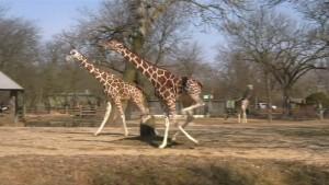 Giraffen freuen sich über Frühling