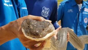 Riesige Königskobra schlängelt sich durch Abwassersystem