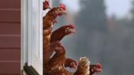 Hühner haben viele Fans.